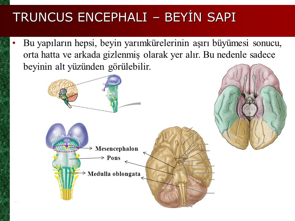 Pons Medulla oblongata Mesencephalon Bu yapıların hepsi, beyin yarımkürelerinin aşırı büyümesi sonucu, orta hatta ve arkada gizlenmiş olarak yer alır.