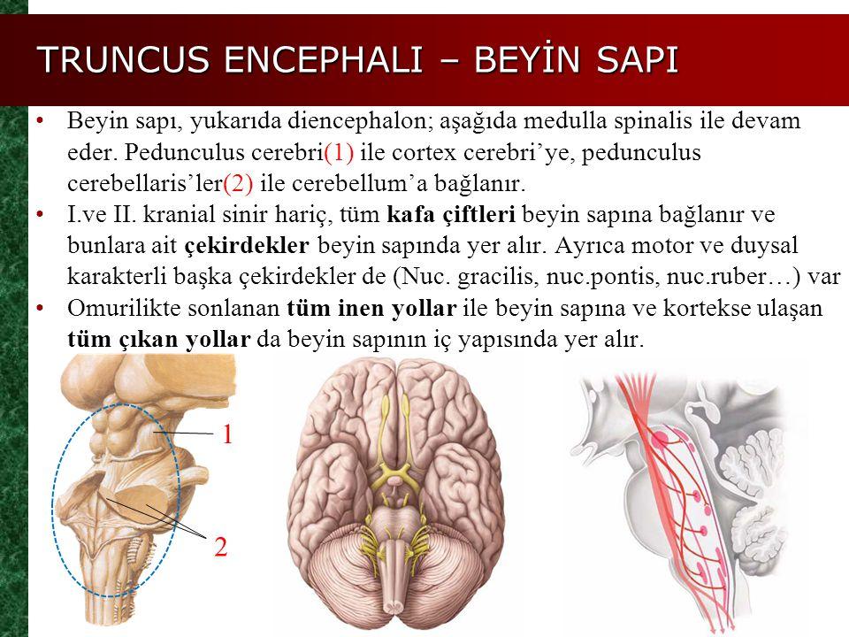 Beyin sapı, yukarıda diencephalon; aşağıda medulla spinalis ile devam eder. Pedunculus cerebri(1) ile cortex cerebri'ye, pedunculus cerebellaris'ler(2