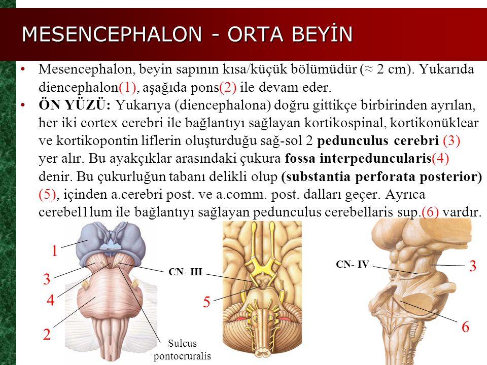 MESENCEPHALON - ORTA BEYİN 2 4 5 3 ARKA YÜZÜ: Dikey ve enine oluklarla birbirinden ayrılmiş 4 adet yuvarlak şişkinlik (lamina tecti/corpora quadrigemina) görülür.