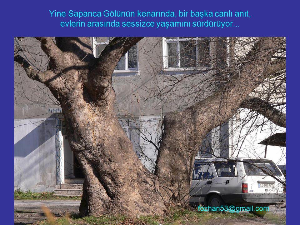 Yine Sapanca Gölünün kenarında, bir başka canlı anıt, evlerin arasında sessizce yaşamını sürdürüyor... fozhan53@gmail.com