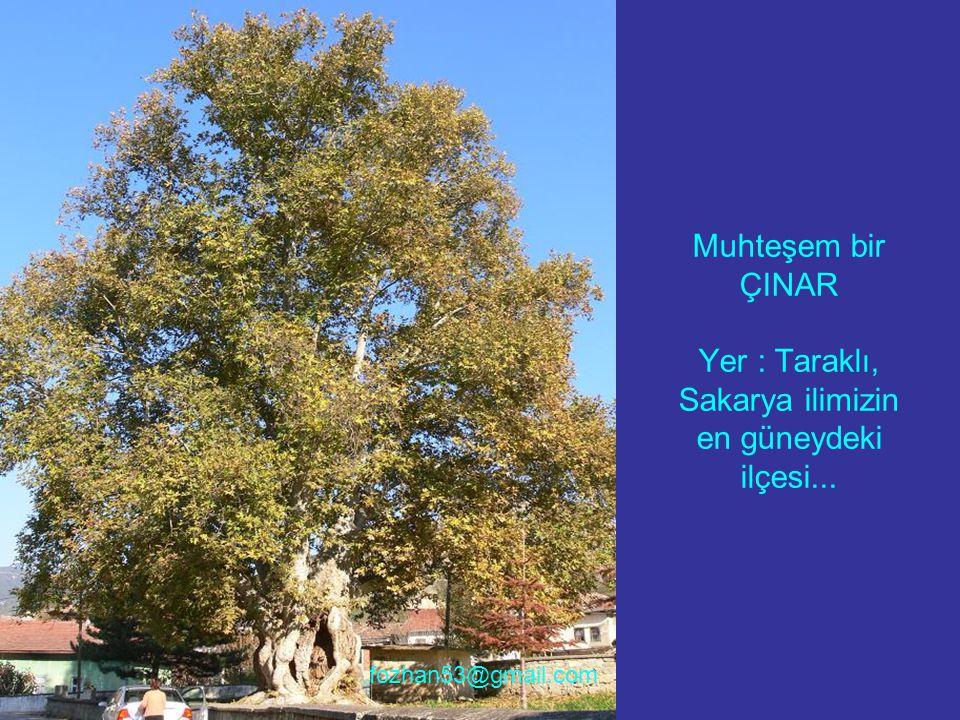 Muhteşem bir ÇINAR Yer : Taraklı, Sakarya ilimizin en güneydeki ilçesi... fozhan53@gmail.com