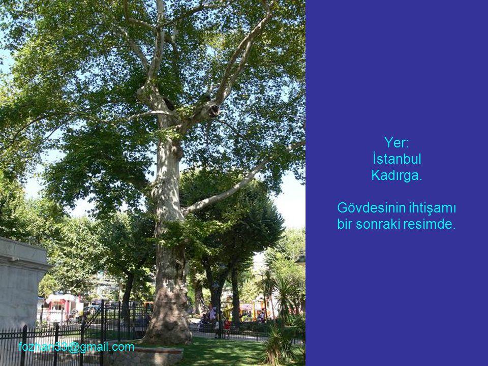 Yer: İstanbul Kadırga. Gövdesinin ihtişamı bir sonraki resimde. fozhan53@gmail.com