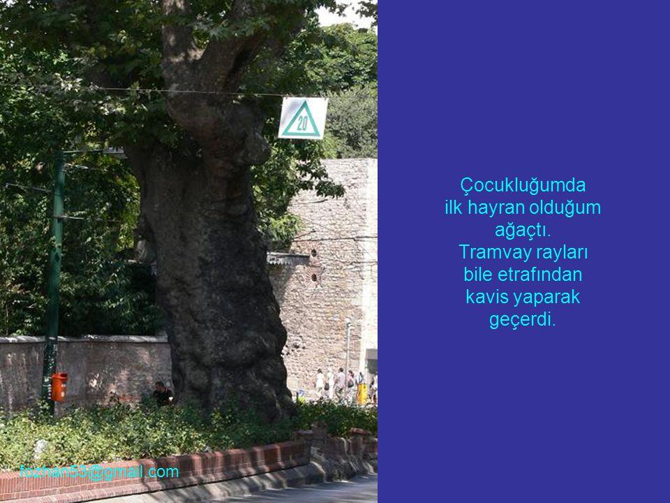 Çocukluğumda ilk hayran olduğum ağaçtı. Tramvay rayları bile etrafından kavis yaparak geçerdi. fozhan53@gmail.com