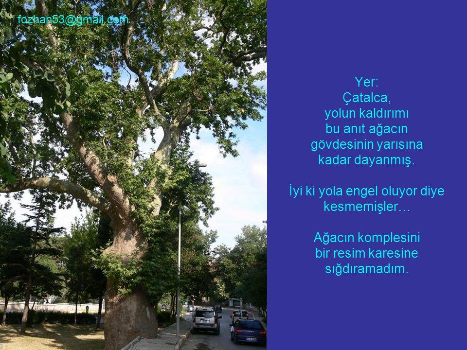 Yer: Çatalca, yolun kaldırımı bu anıt ağacın gövdesinin yarısına kadar dayanmış. İyi ki yola engel oluyor diye kesmemişler… Ağacın komplesini bir resi