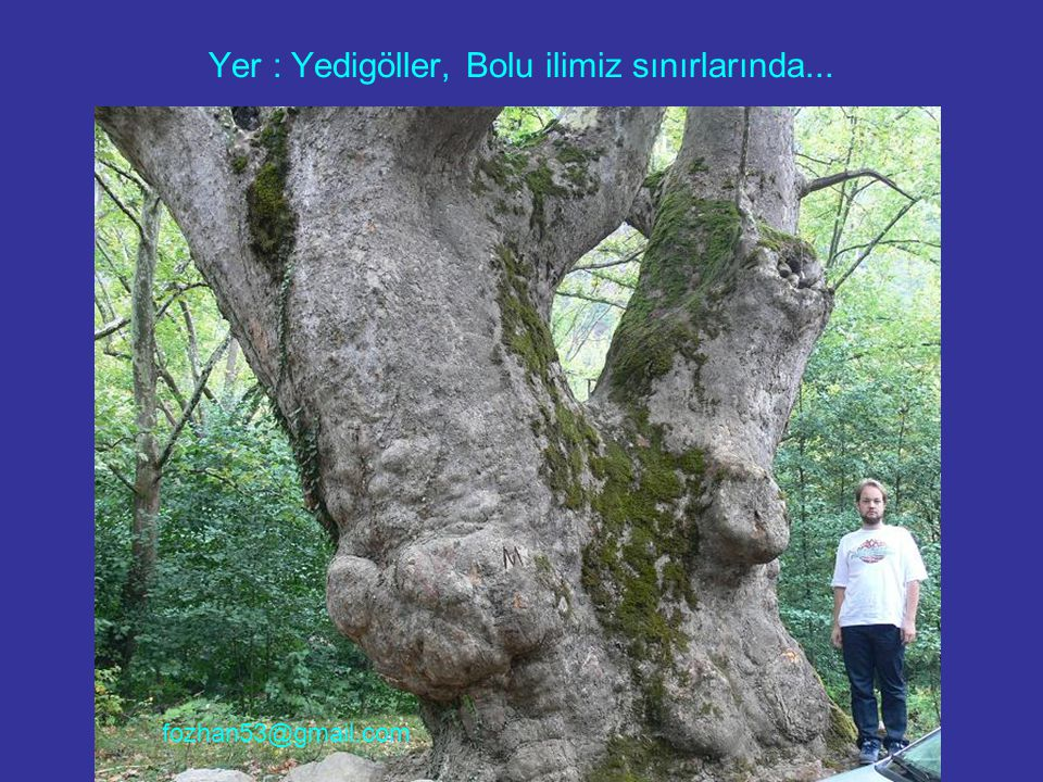 Yer: Marmara Adası Çınarlı Köyü.Burada birbirine komşu birden fazla Anıt Çınar var.