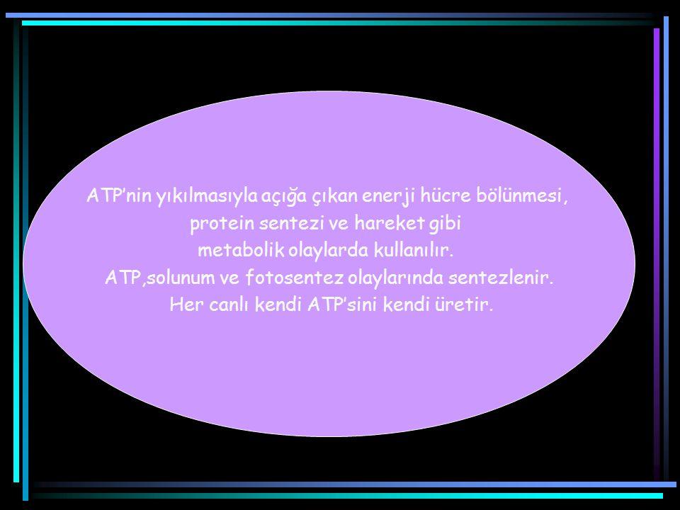ATP'nin yıkılmasıyla açığa çıkan enerji hücre bölünmesi, protein sentezi ve hareket gibi metabolik olaylarda kullanılır.