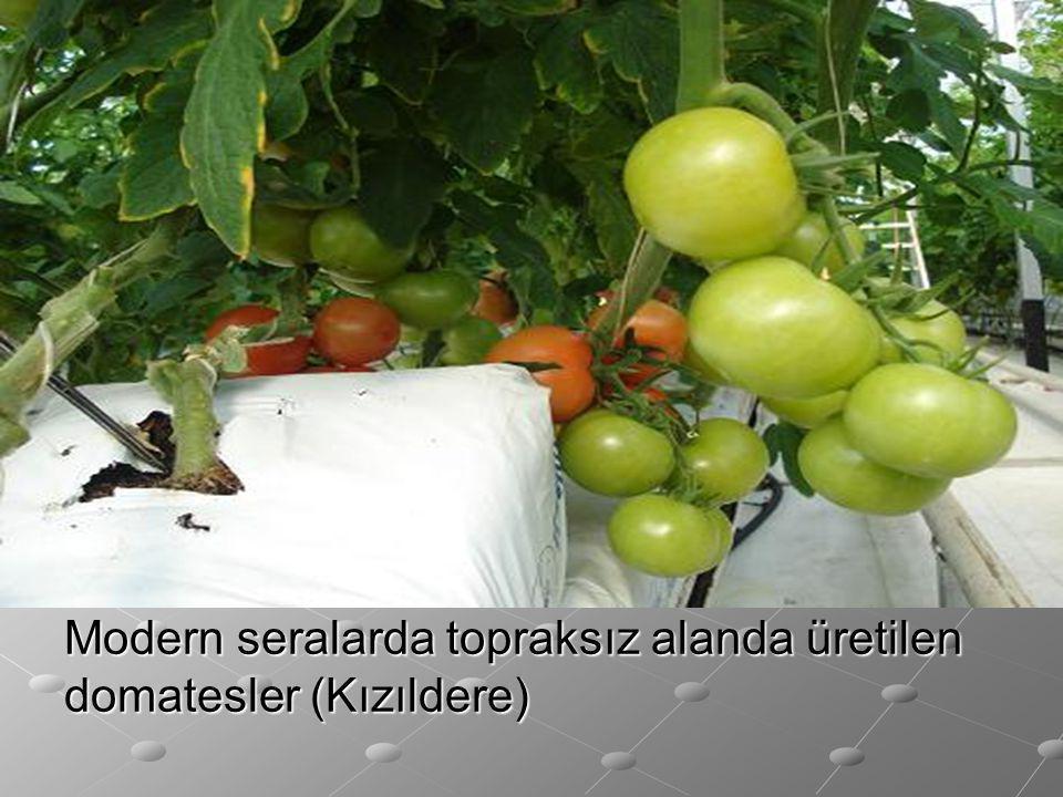 Modern seralarda topraksız alanda üretilen domatesler (Kızıldere)