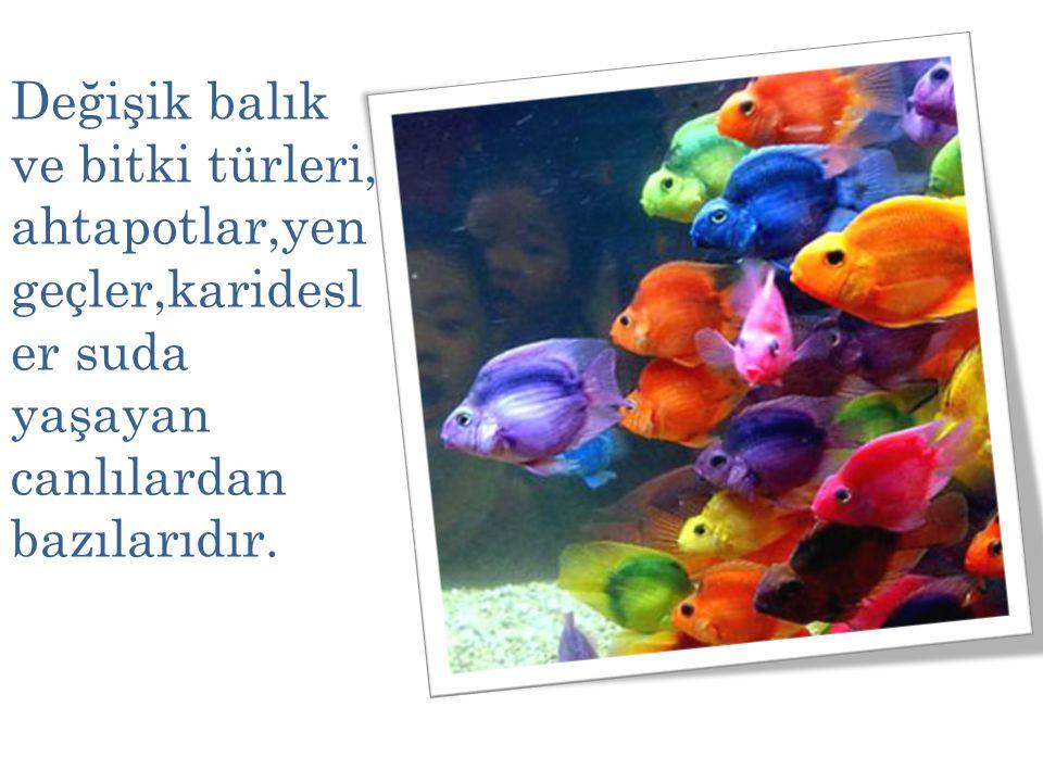 Değişik balık ve bitki türleri, ahtapotlar,yen geçler,karidesl er suda yaşayan canlılardan bazılarıdır.