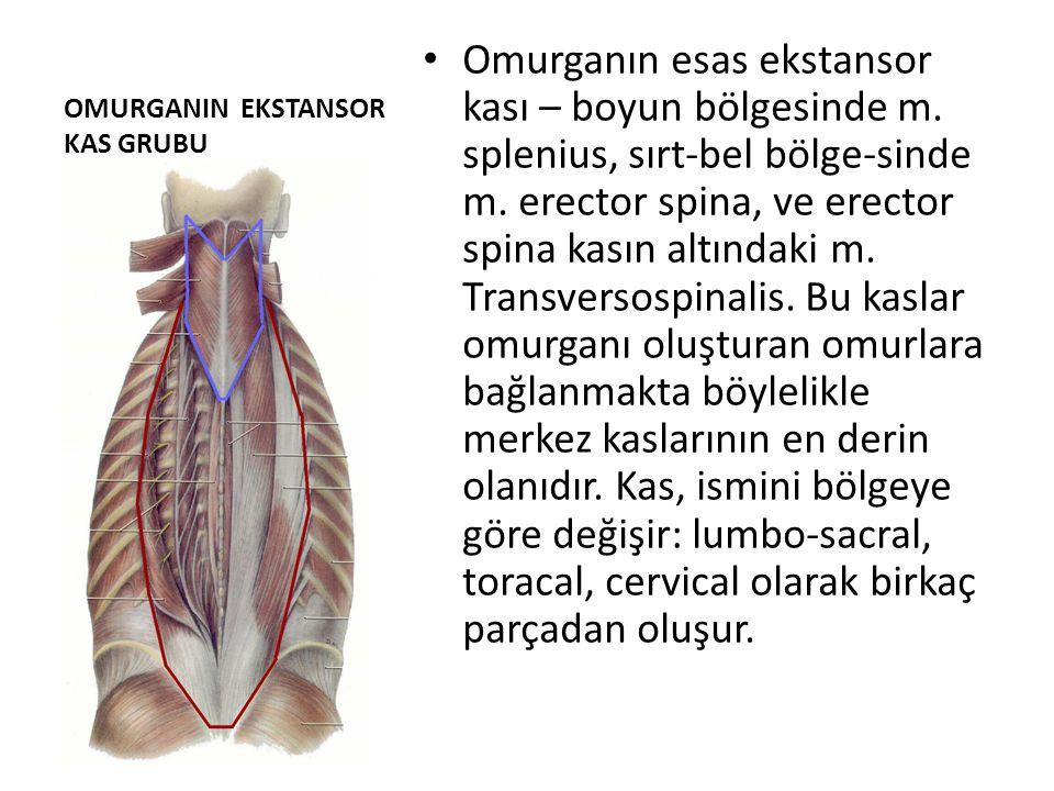 OMURGANIN EKSTANSOR KAS GRUBU Omurganın esas ekstansor kası – boyun bölgesinde m. splenius, sırt-bel bölge-sinde m. erector spina, ve erector spina ka
