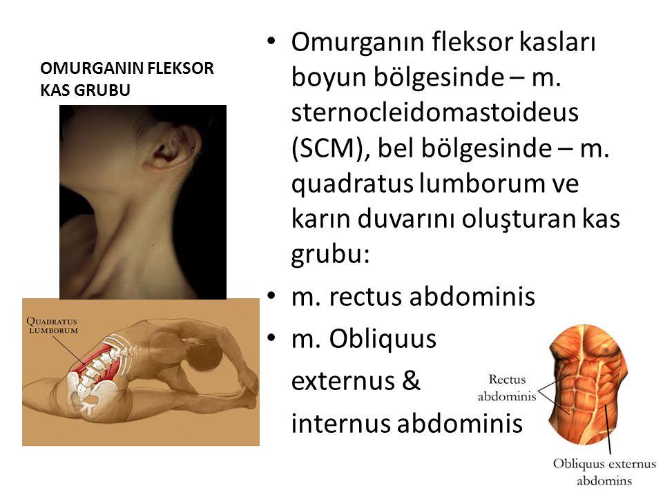 OMURGANIN FLEKSOR KAS GRUBU Omurganın fleksor kasları boyun bölgesinde – m. sternocleidomastoideus (SCM), bel bölgesinde – m. quadratus lumborum ve ka