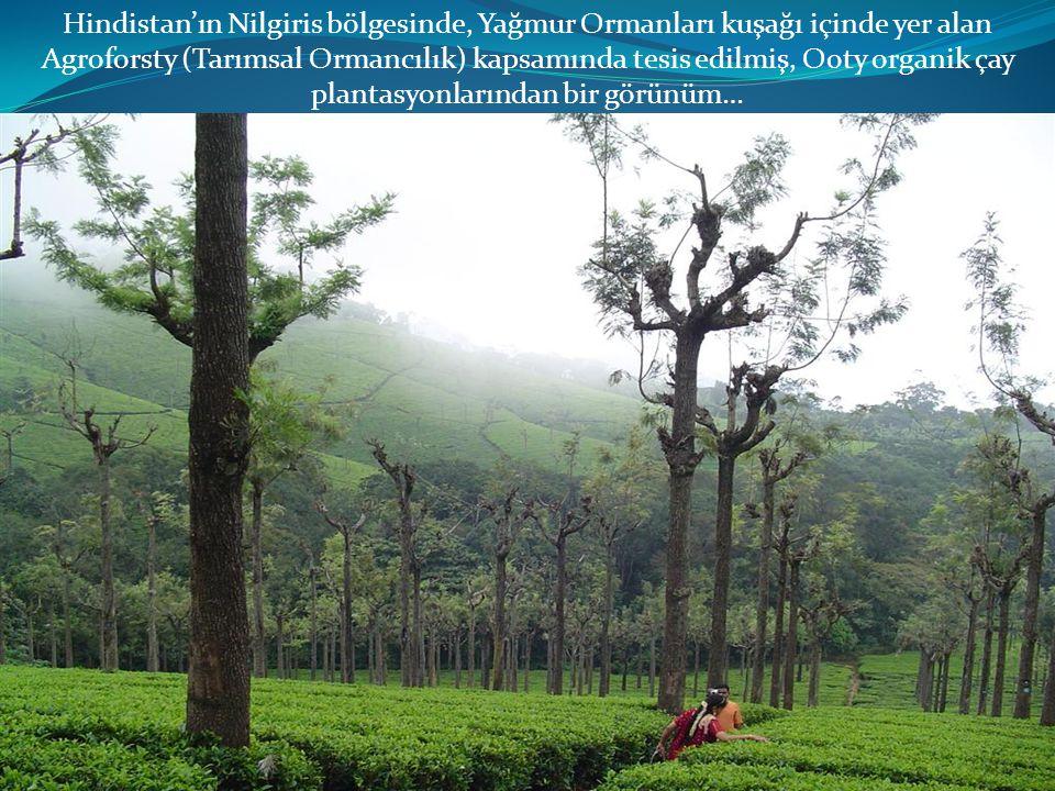 Hindistan'ın Nilgiris bölgesinde, Yağmur Ormanları kuşağı içinde yer alan Agroforsty (Tarımsal Ormancılık) kapsamında tesis edilmiş, Ooty organik çay