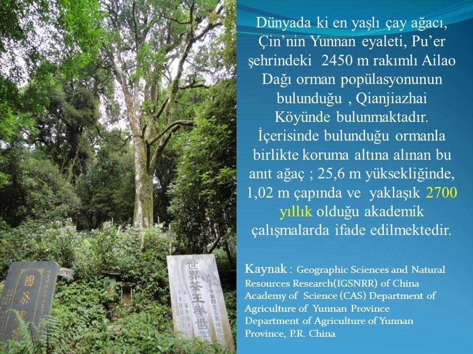 Dünyada ki en yaşlı çay ağacı, Çin'nin Yunnan eyaleti, Pu'er şehrindeki 2450 m rakımlı Ailao Dağı orman popülasyonunun bulunduğu, Qianjiazhai Köyünde