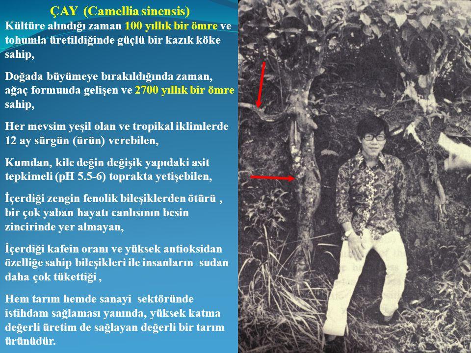 ÇAY (Camellia sinensis) Kültüre alındığı zaman 100 yıllık bir ömre ve tohumla üretildiğinde güçlü bir kazık köke sahip, Doğada büyümeye bırakıldığında