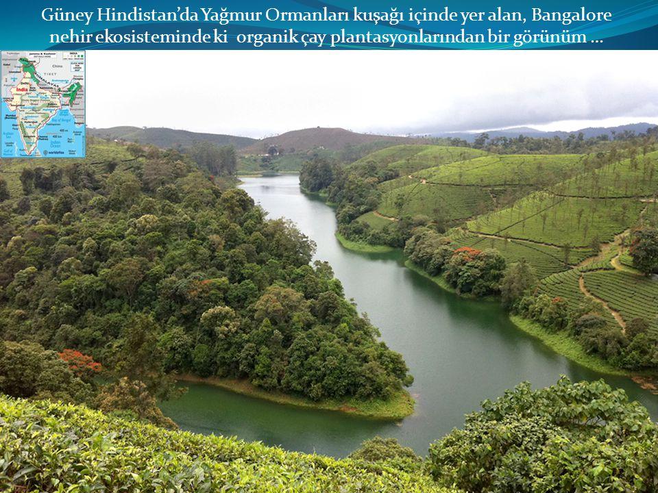 Güney Hindistan'da Yağmur Ormanları kuşağı içinde yer alan, Bangalore nehir ekosisteminde ki organik çay plantasyonlarından bir görünüm …