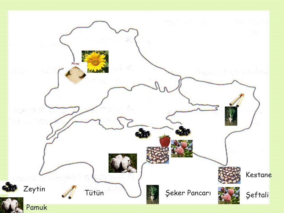E) TARIM Zeytin : Bölgenin özellikle Akdeniz iklimi etkisi altındaki güney kıyılarında yetiştirilir. Özellikle Gemlik zeytinleri ülkemizin en kaliteli