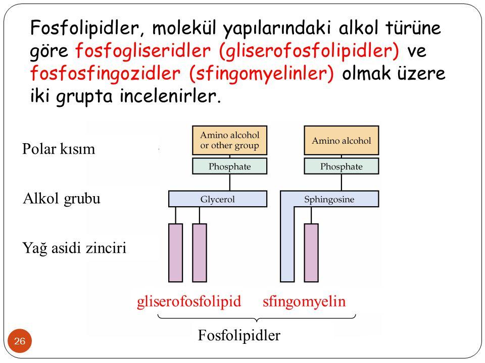 26 Fosfolipidler, molekül yapılarındaki alkol türüne göre fosfogliseridler (gliserofosfolipidler) ve fosfosfingozidler (sfingomyelinler) olmak üzere i