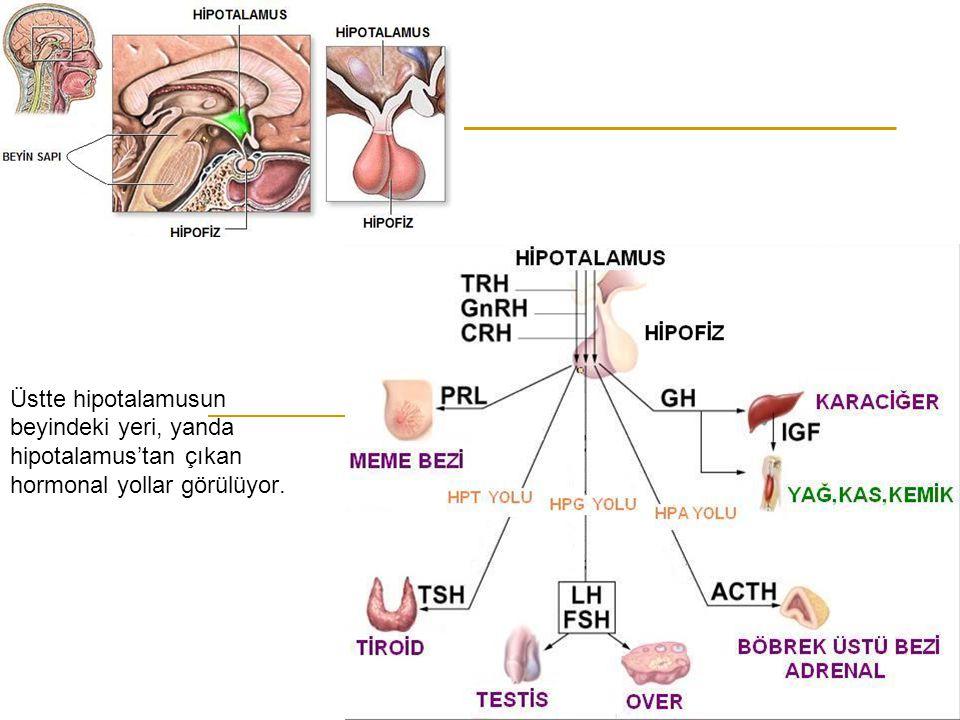 Üstte hipotalamusun beyindeki yeri, yanda hipotalamus'tan çıkan hormonal yollar görülüyor.
