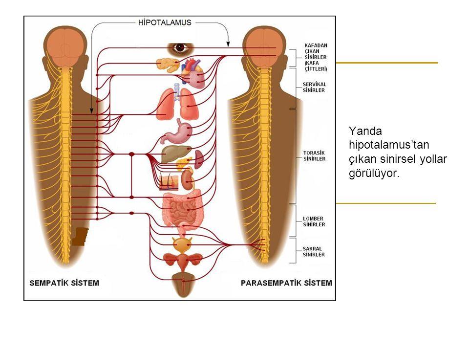 Yanda hipotalamus'tan çıkan sinirsel yollar görülüyor.