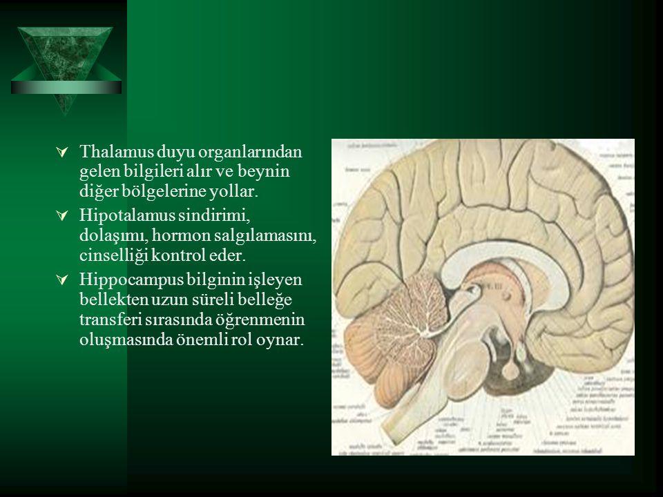  Thalamus duyu organlarından gelen bilgileri alır ve beynin diğer bölgelerine yollar.