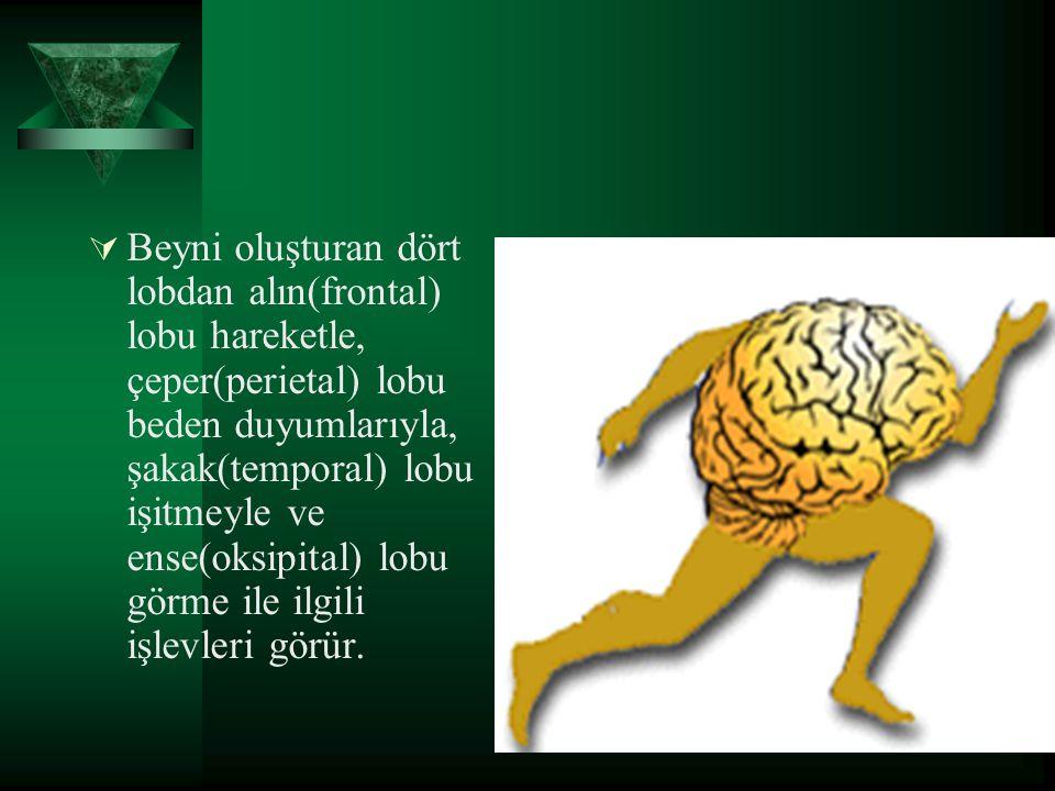 Beyni oluşturan dört lobdan alın(frontal) lobu hareketle, çeper(perietal) lobu beden duyumlarıyla, şakak(temporal) lobu işitmeyle ve ense(oksipital) lobu görme ile ilgili işlevleri görür.