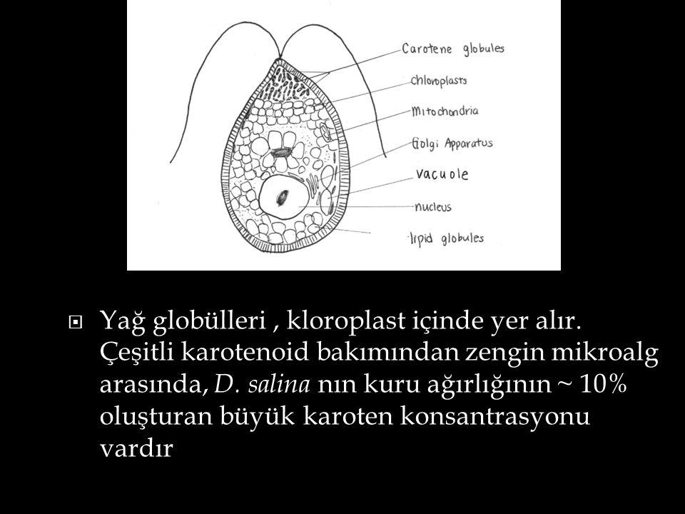  Yağ globülleri, kloroplast içinde yer alır. Çeşitli karotenoid bakımından zengin mikroalg arasında, D. salina nın kuru ağırlığının ~ 10% oluşturan b