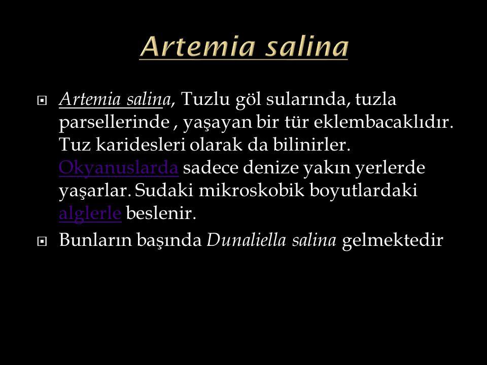  Artemia salina, Tuzlu göl sularında, tuzla parsellerinde, yaşayan bir tür eklembacaklıdır. Tuz karidesleri olarak da bilinirler. Okyanuslarda sadece