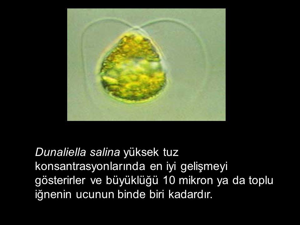 Dunaliella salina yüksek tuz konsantrasyonlarında en iyi gelişmeyi gösterirler ve büyüklüğü 10 mikron ya da toplu iğnenin ucunun binde biri kadardır.