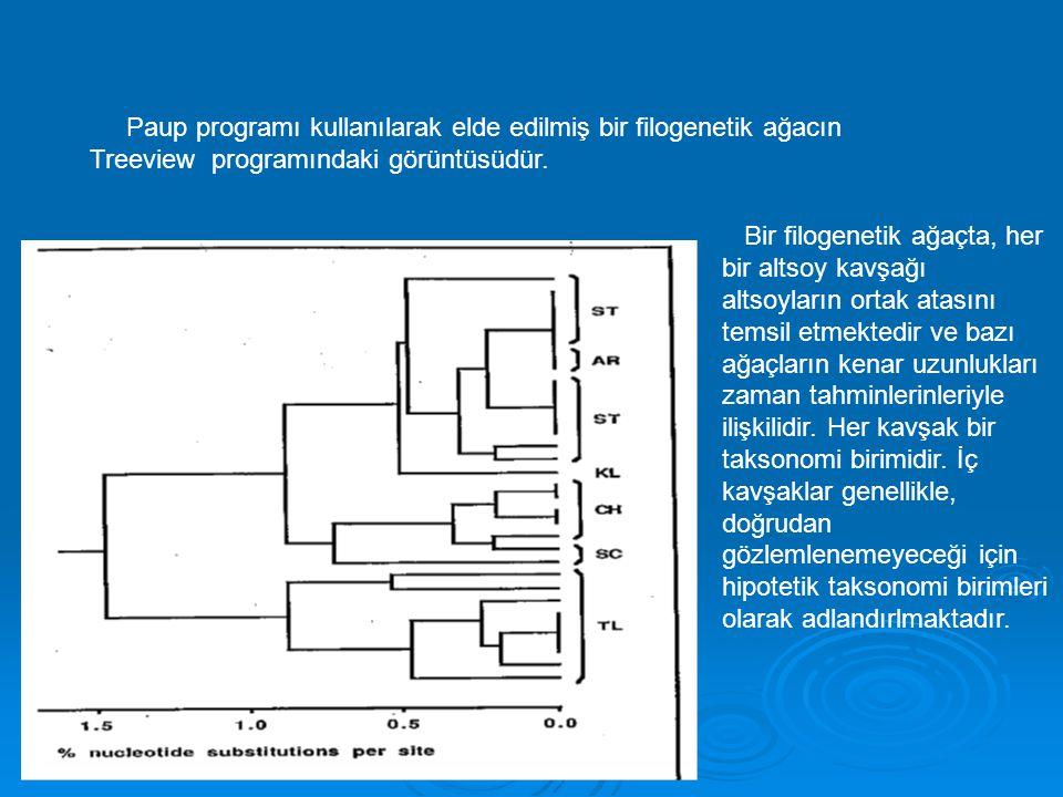 Paup programı kullanılarak elde edilmiş bir filogenetik ağacın Treeview programındaki görüntüsüdür. Bir filogenetik ağaçta, her bir altsoy kavşağı alt