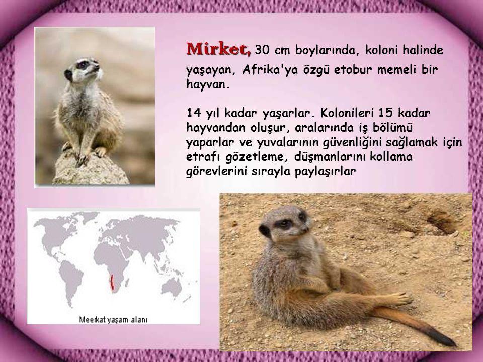 Mirket, Mirket, 30 cm boylarında, koloni halinde yaşayan, Afrika ya özgü etobur memeli bir hayvan.