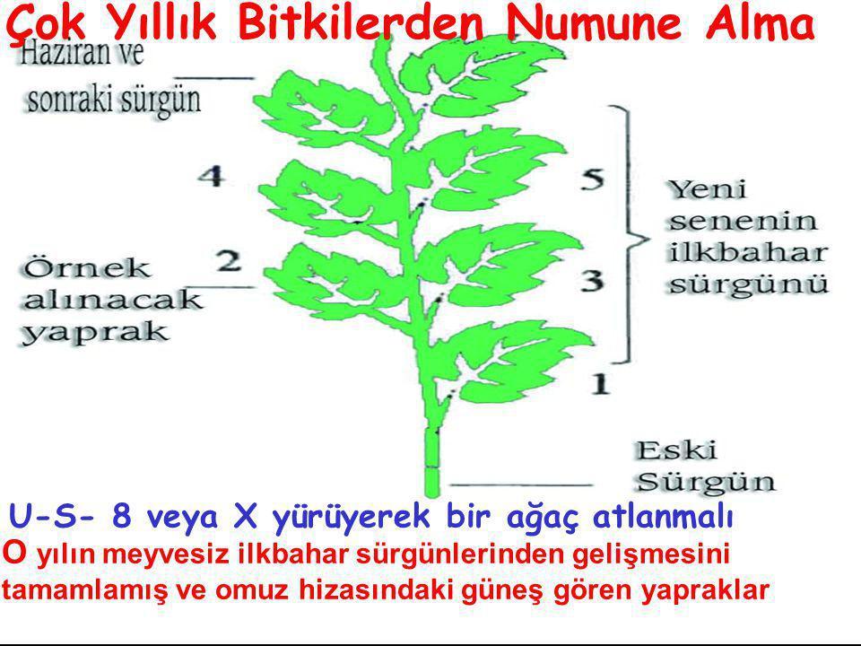 O yılın meyvesiz ilkbahar sürgünlerinden gelişmesini tamamlamış ve omuz hizasındaki güneş gören yapraklar U-S- 8 veya X yürüyerek bir ağaç atlanmalı Çok Yıllık Bitkilerden Numune Alma