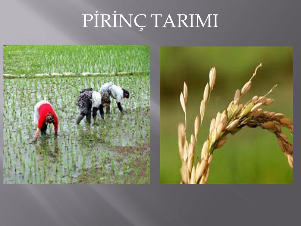 PAMUK Yetişme döneminde bol nem, olgunlaşma döneminde tam sıcaklık, güneşlenme ister.En fazla sırasıyla Güney Doğu Anadolu, Ege ve Akdeniz bölgelerinde yetiştirilir.