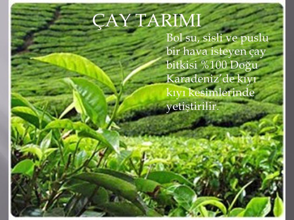 ÇAY TARIMI Bol su, sisli ve puslu bir hava isteyen çay bitkisi %100 Doğu Karadeniz'de kıyı kıyı kesimlerinde yetiştirilir.