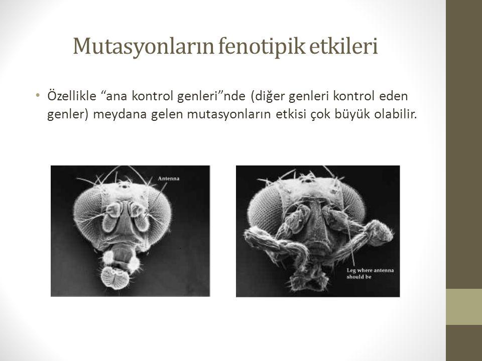 """Mutasyonların fenotipik etkileri Özellikle """"ana kontrol genleri""""nde (diğer genleri kontrol eden genler) meydana gelen mutasyonların etkisi çok büyük o"""