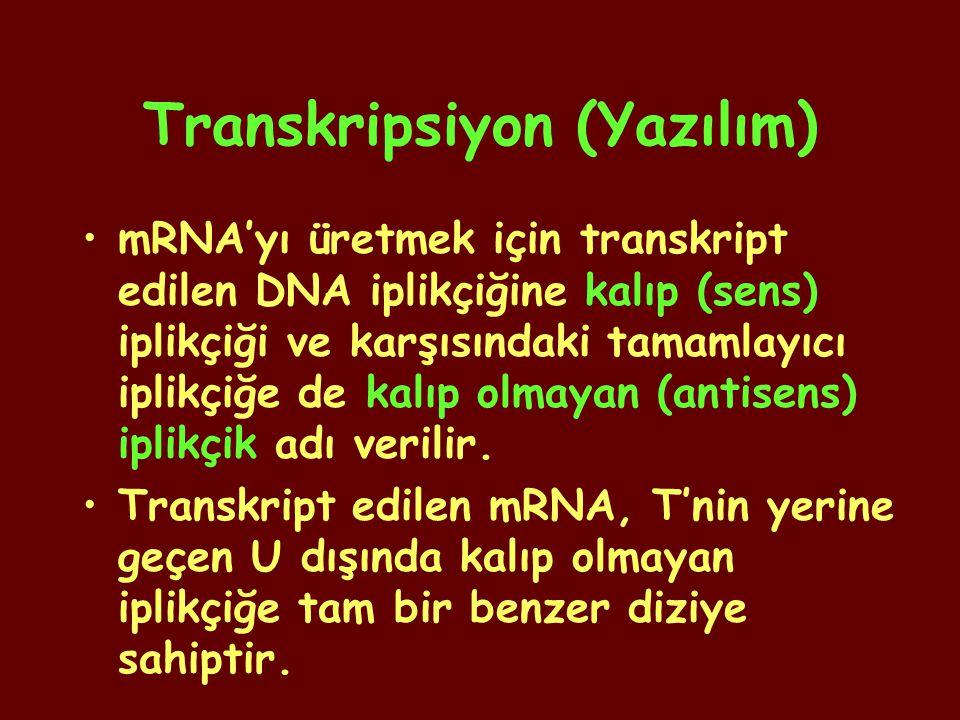 Transkripsiyon (Yazılım) mRNA'yı üretmek için transkript edilen DNA iplikçiğine kalıp (sens) iplikçiği ve karşısındaki tamamlayıcı iplikçiğe de kalıp