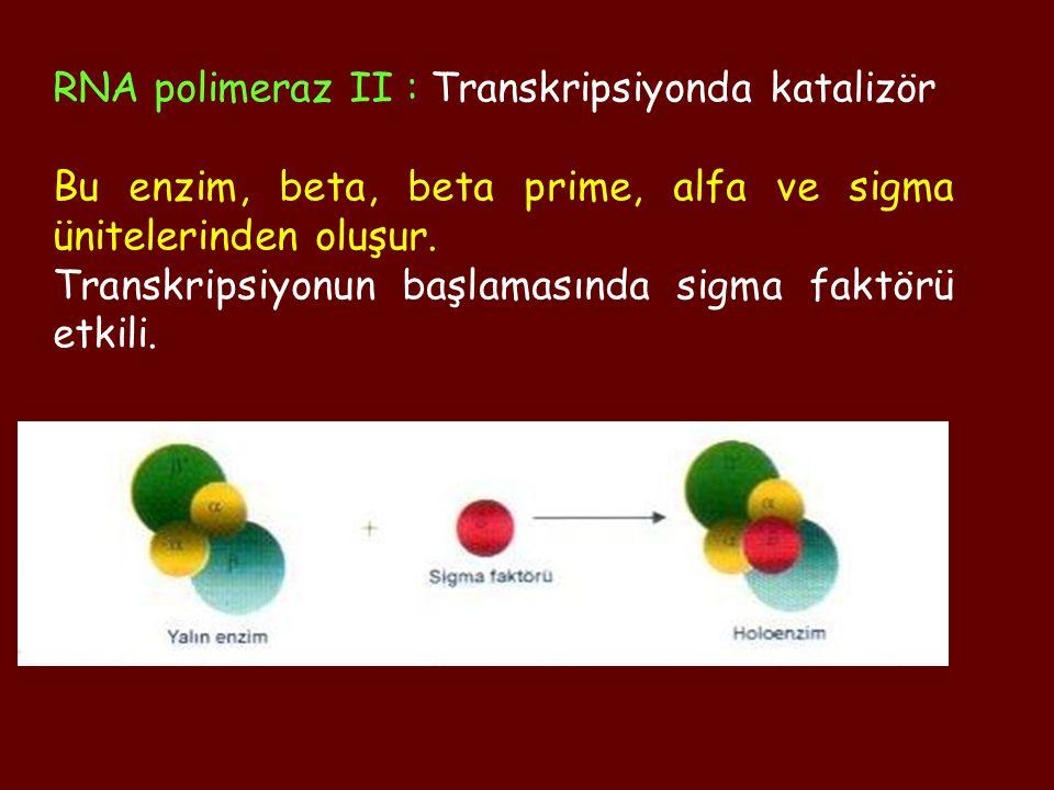 RNA polimeraz II : Transkripsiyonda katalizör Bu enzim, beta, beta prime, alfa ve sigma ünitelerinden oluşur. Transkripsiyonun başlamasında sigma fakt