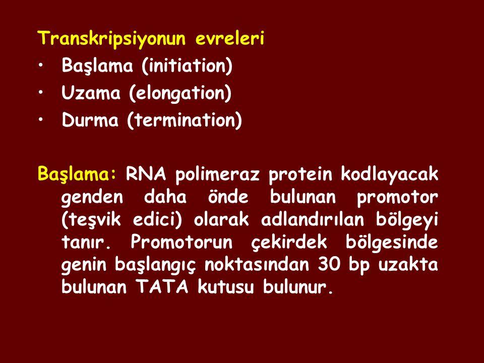 Transkripsiyonun evreleri Başlama (initiation) Uzama (elongation) Durma (termination) Başlama: RNA polimeraz protein kodlayacak genden daha önde bulun