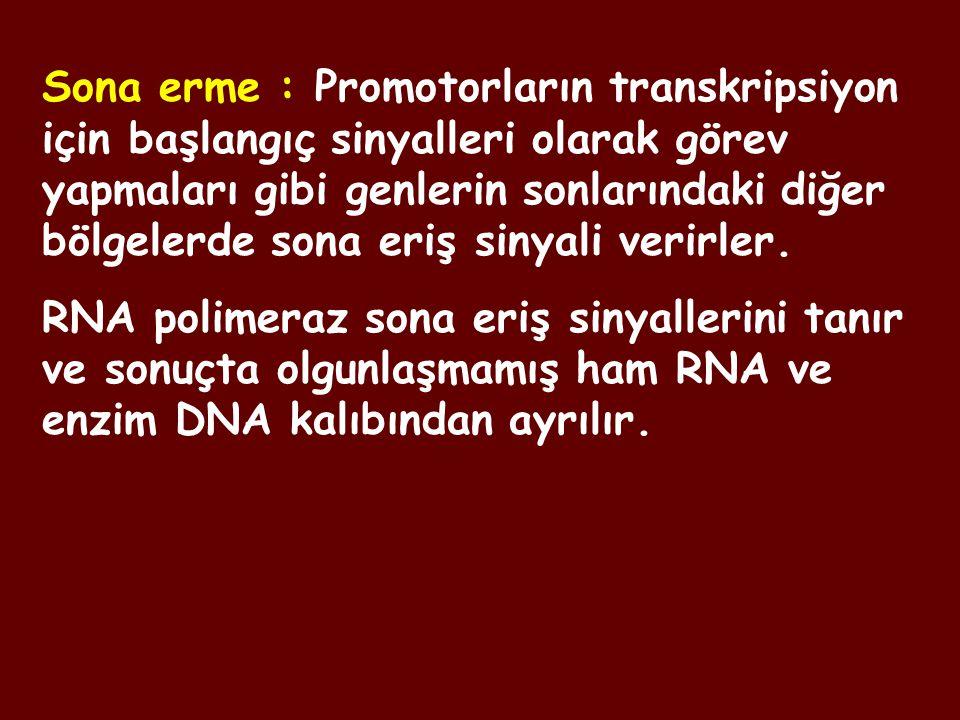 Sona erme : Promotorların transkripsiyon için başlangıç sinyalleri olarak görev yapmaları gibi genlerin sonlarındaki diğer bölgelerde sona eriş sinyal