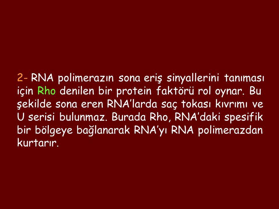 2- RNA polimerazın sona eriş sinyallerini tanıması için Rho denilen bir protein faktörü rol oynar. Bu şekilde sona eren RNA'larda saç tokası kıvrımı v