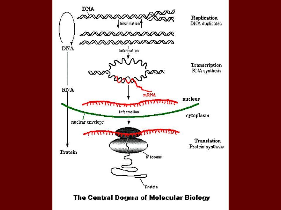 Transkripsiyonun evreleri Başlama (initiation) Uzama (elongation) Durma (termination) Başlama: RNA polimeraz protein kodlayacak genden daha önde bulunan promotor (teşvik edici) olarak adlandırılan bölgeyi tanır.