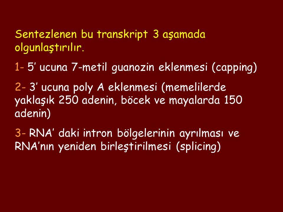Sentezlenen bu transkript 3 aşamada olgunlaştırılır. 1- 5' ucuna 7-metil guanozin eklenmesi (capping) 2- 3' ucuna poly A eklenmesi (memelilerde yaklaş