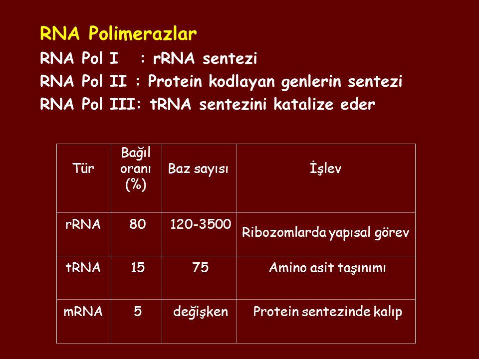RNA Polimerazlar RNA Pol I : rRNA sentezi RNA Pol II : Protein kodlayan genlerin sentezi RNA Pol III: tRNA sentezini katalize eder Tür Bağıl oranı (%)