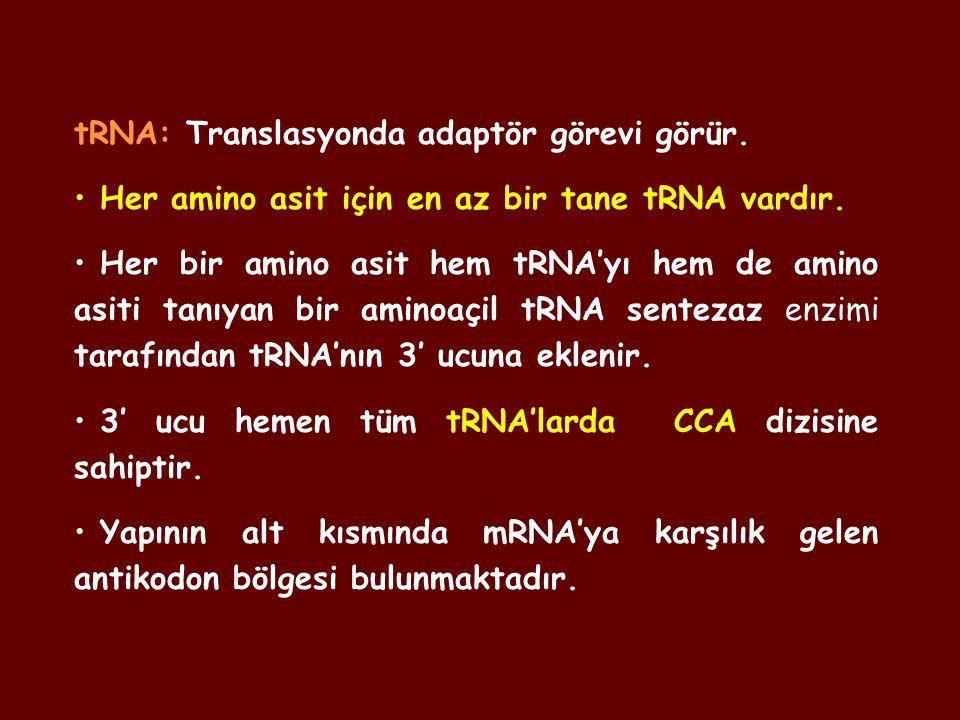 tRNA: Translasyonda adaptör görevi görür. Her amino asit için en az bir tane tRNA vardır. Her bir amino asit hem tRNA'yı hem de amino asiti tanıyan bi