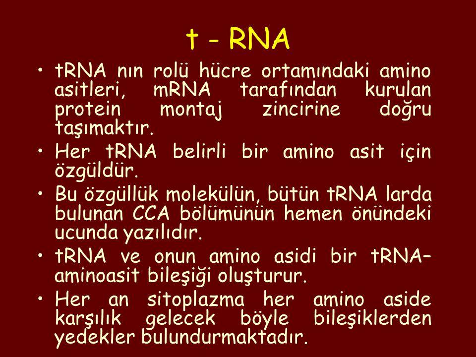 tRNA nın rolü hücre ortamındaki amino asitleri, mRNA tarafından kurulan protein montaj zincirine doğru taşımaktır. Her tRNA belirli bir amino asit içi