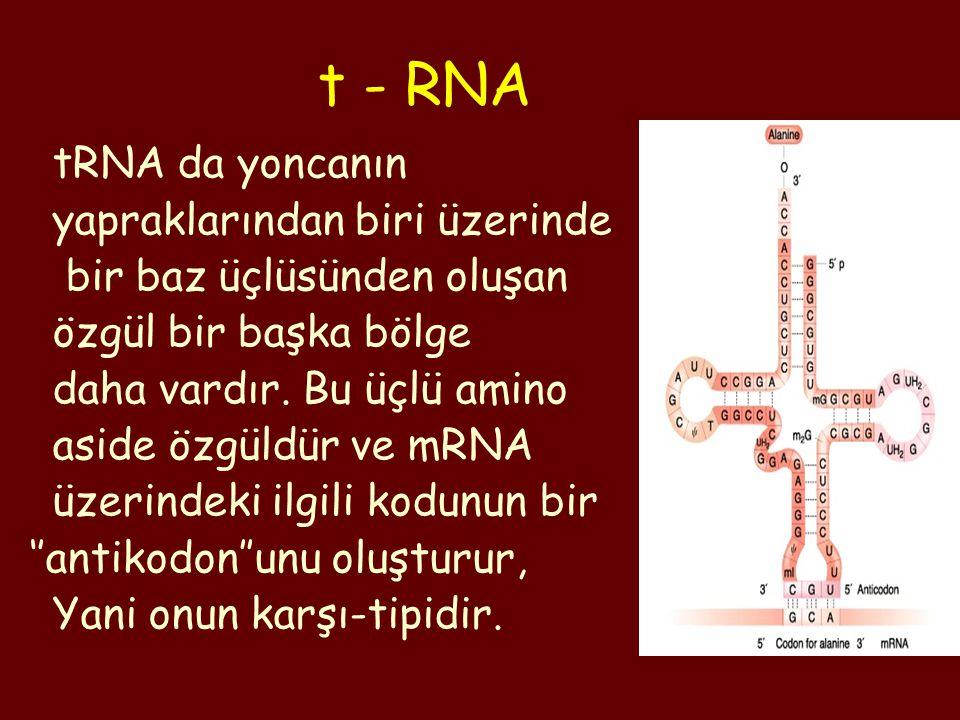 tRNA da yoncanın yapraklarından biri üzerinde bir baz üçlüsünden oluşan özgül bir başka bölge daha vardır. Bu üçlü amino aside özgüldür ve mRNA üzerin