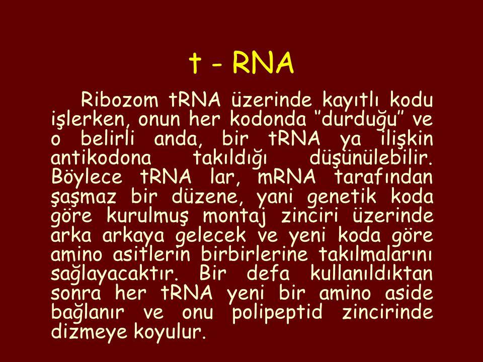 Ribozom tRNA üzerinde kayıtlı kodu işlerken, onun her kodonda ''durduğu'' ve o belirli anda, bir tRNA ya ilişkin antikodona takıldığı düşünülebilir. B
