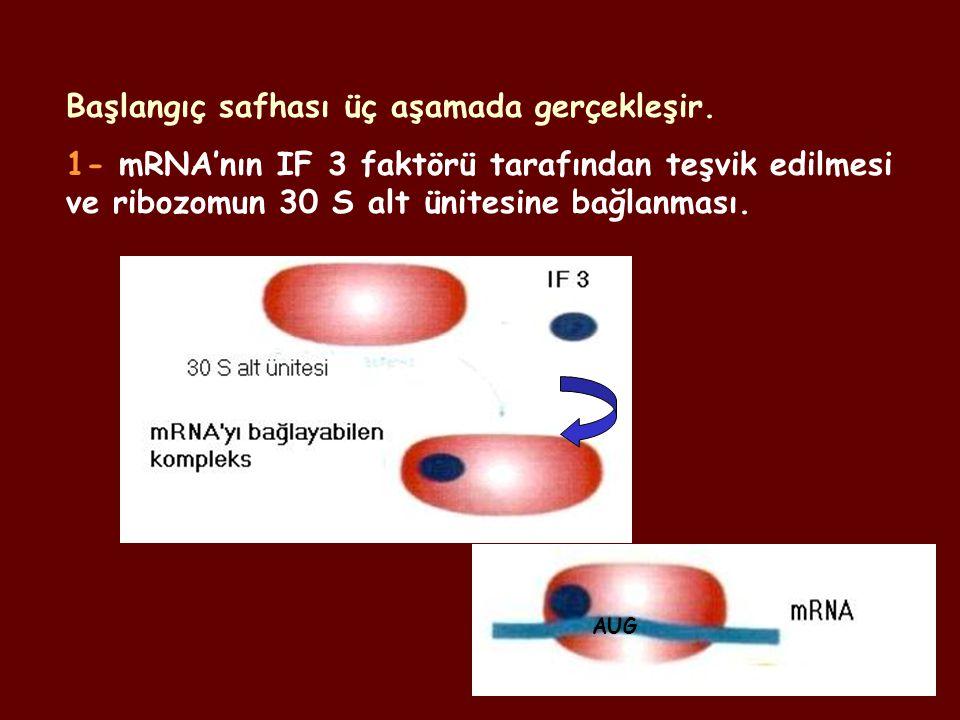 Başlangıç safhası üç aşamada gerçekleşir. 1- mRNA'nın IF 3 faktörü tarafından teşvik edilmesi ve ribozomun 30 S alt ünitesine bağlanması. AUG