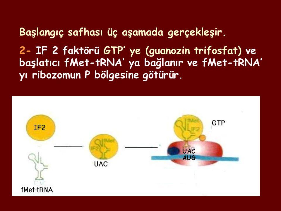 Başlangıç safhası üç aşamada gerçekleşir. 2- IF 2 faktörü GTP' ye (guanozin trifosfat) ve başlatıcı fMet-tRNA' ya bağlanır ve fMet-tRNA' yı ribozomun