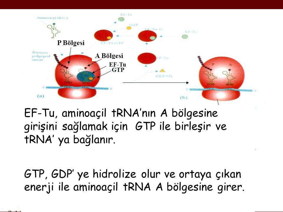 A Bölgesi P Bölgesi EF-Tu GTP EF-Tu, aminoaçil tRNA'nın A bölgesine girişini sağlamak için GTP ile birleşir ve tRNA' ya bağlanır. GTP, GDP' ye hidroli