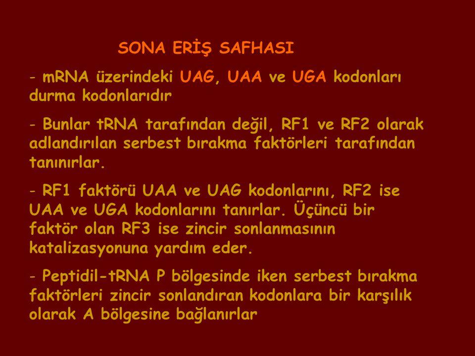 SONA ERİŞ SAFHASI - mRNA üzerindeki UAG, UAA ve UGA kodonları durma kodonlarıdır - Bunlar tRNA tarafından değil, RF1 ve RF2 olarak adlandırılan serbes