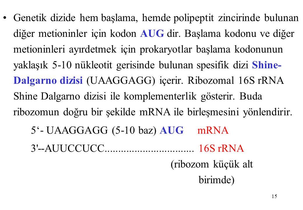 15 Genetik dizide hem başlama, hemde polipeptit zincirinde bulunan diğer metioninler için kodon AUG dir. Başlama kodonu ve diğer metioninleri ayırdetm
